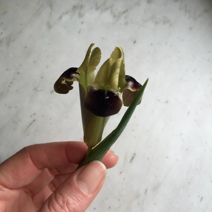 snake's-head iris, black widow iris or Hermodactylus tuberosus